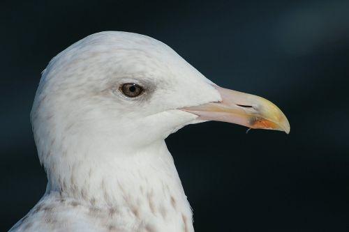 herring gull larus argentatus laridae
