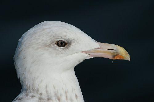 herring gull gulls larus argentatus