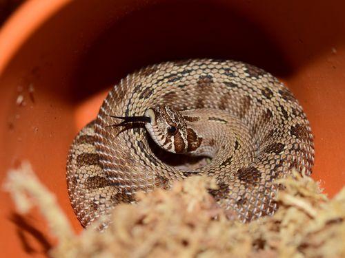 heterodon nasicus snake natter