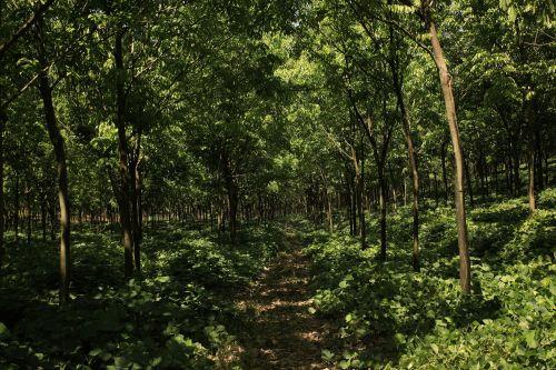 hevea rubber plantation rubber