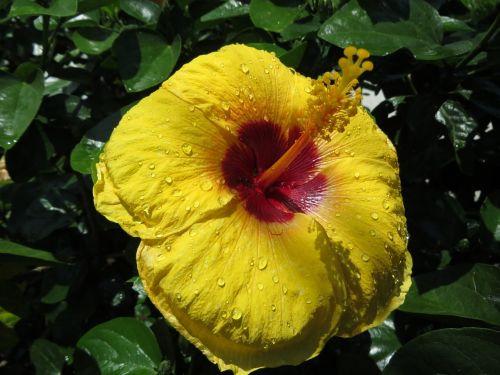 hibiscus flower stamen
