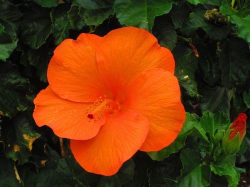 hibiscus orange vibrant