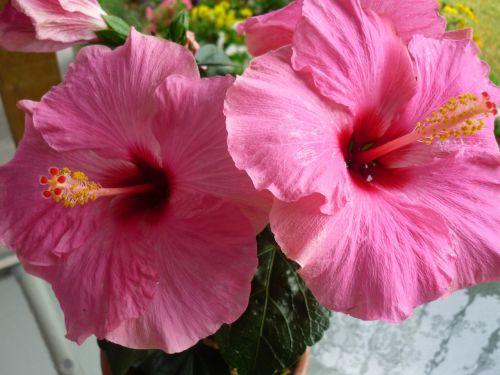 hibiscus hibiscus flower pink hibiscus flower