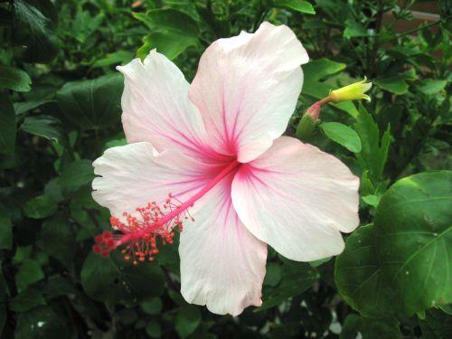 hibiscus,Ishigaki sala,atokios salos,šviesiai rožinė,rožinis,gėlės,žalias,didelis,Asahi,šviečia,Okinawa,Japonija,pietų sala,šviežias,gerumas,gyvas,kontrastas,antomasako,pietų šalyse,jūra,raudona,tvirtas,Moteris