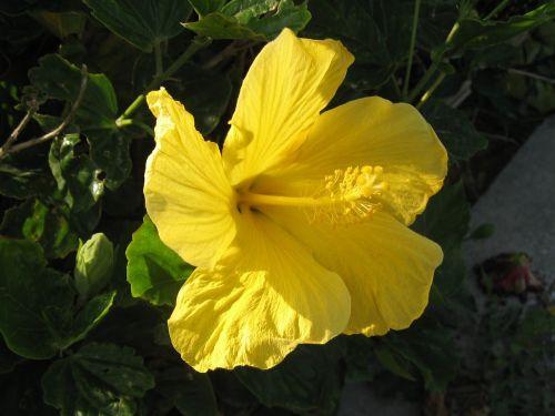 hibiscus,Ishigaki sala,atokios salos,huan,gėlės,žalias,didelis,Asahi,šviečia,Okinawa,Japonija,pietų sala,šviežias,gyvas,kontrastas,antomasako,pietų šalyse,jūra,geltona,tvirtas,Moteris
