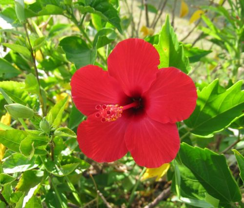 hibiscus ishigaki island outlying islands