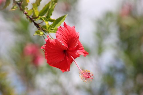hibiscus flowers red