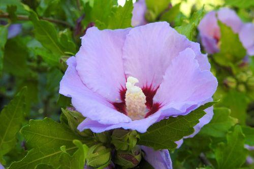 hibiscus hibiscus flower blue