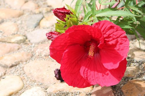 hibiscus giant hibiscus red