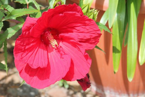 hibiscus giant hibiscus pink