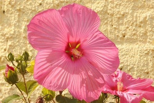 hibiscus hibiscus flower giant hibiscus