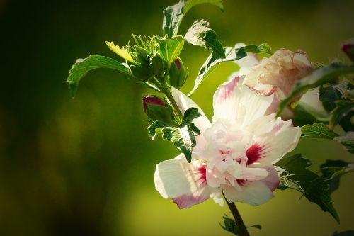 hibiscus white-pink close