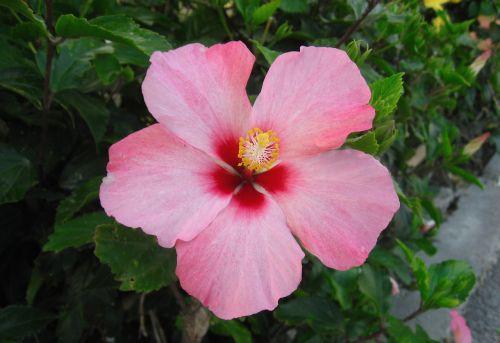 hibiscus flowers pistil