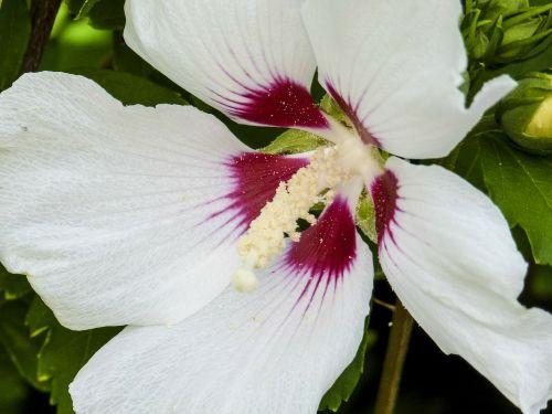hibiscus hibiscus moscheutos plant