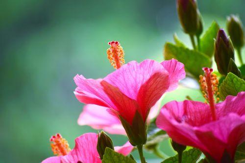 Hibiscus 18