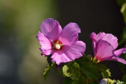 hibiscus nature flower