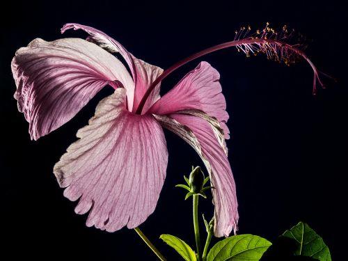 hibiscus blossom bloom