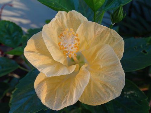 hibiscus yellow yellow hibiscus