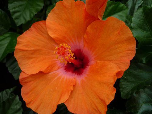 hibiscus magnificent orange blossom