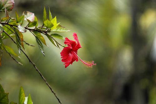 hibiscus hibiscus rosasinensis red hibiscus
