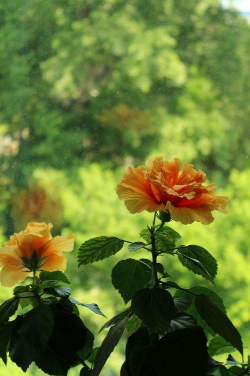 hibiscus summer bloom