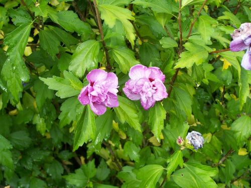 hibiscus shrub hollyhock bush