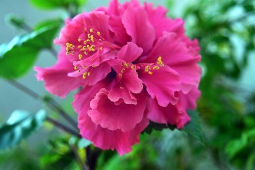 hibiscus flower nature