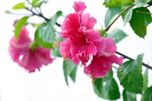 hibiscus flower petals