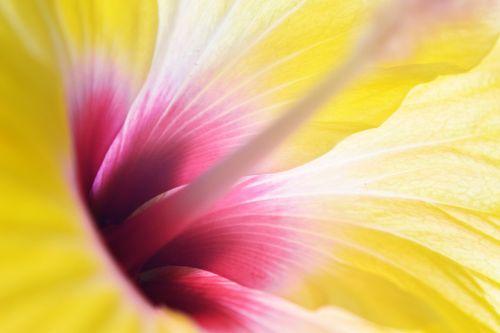 hibiscus yellow petals