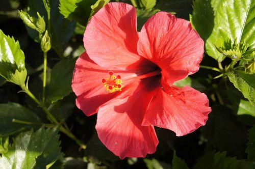 hibiscus hibiscus syriacus rose