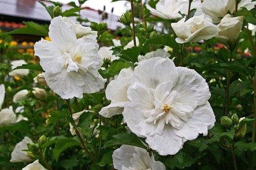 hibiscus  hibiscus shrub  white hibiscus