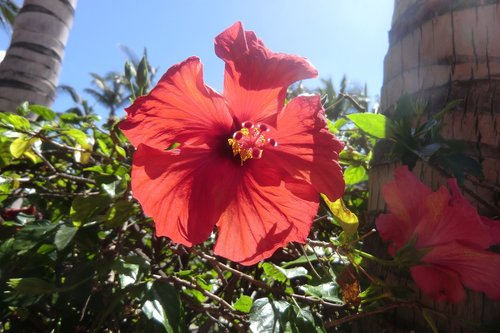 hibiscus  close  flower