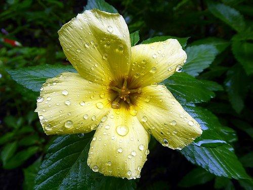 hibiscus  malvaceae  flower