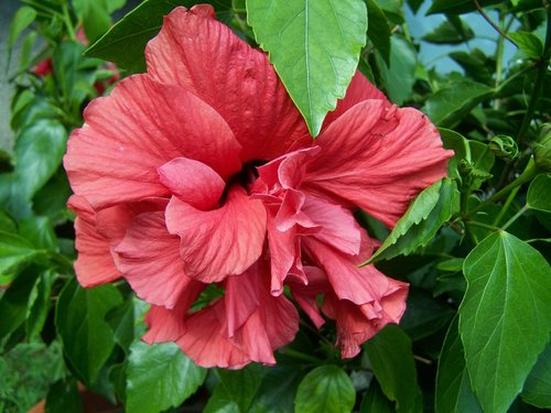 hibiscus  hollyhock  exotic