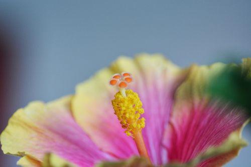 hibiscus,gėlė,žiedas,žydėti,makro,augalas,Uždaryti,spalvinga