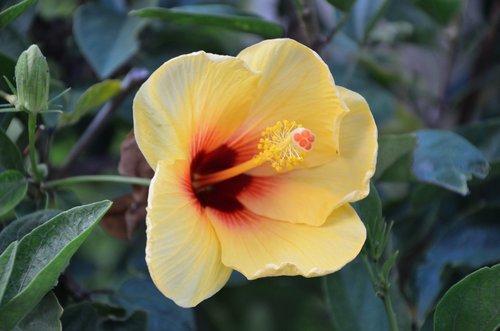 hibiscus  hawaiian flowers  floral