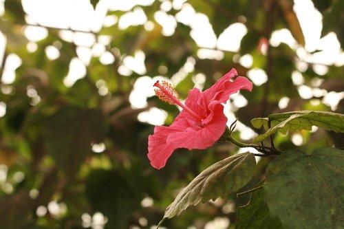 hibiscus  tropical  exotic