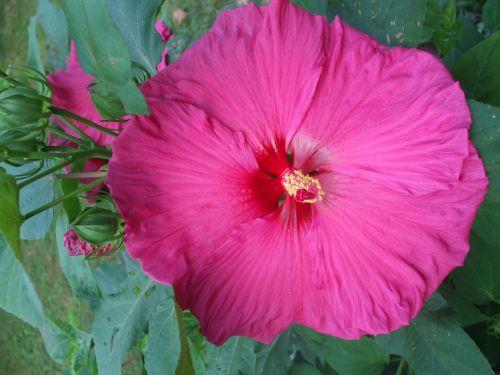 hibiscus magenta flower