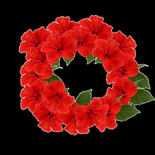 hibiscus crown flower