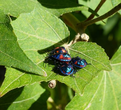 hibiscus bugs close-up insects