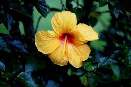 hibiscus flower yellow natural