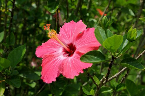 hibiscus flower red natural