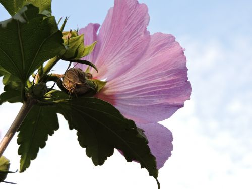 hibiscus flower bush sky