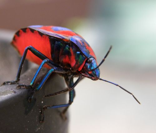 hibiscus harlequin bug tectocoris diophthalmus insects