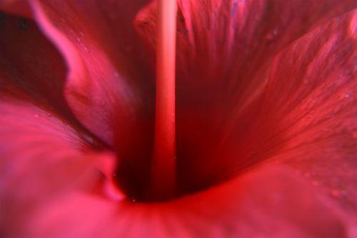 Hibiscus Macro 11