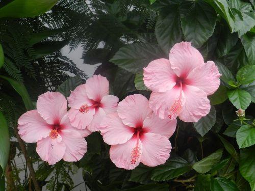 hibiscus pink harmony flowers