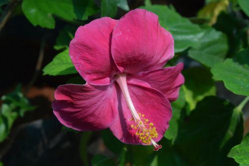 hibiscus rosa-sinensis flower magenta