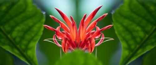 hibiscus schizopetalus flower red