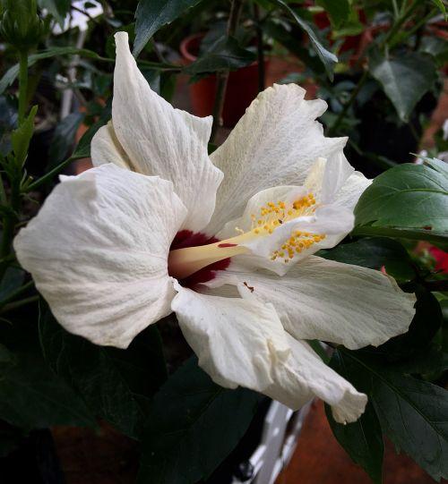 hibiscus white white flower garden