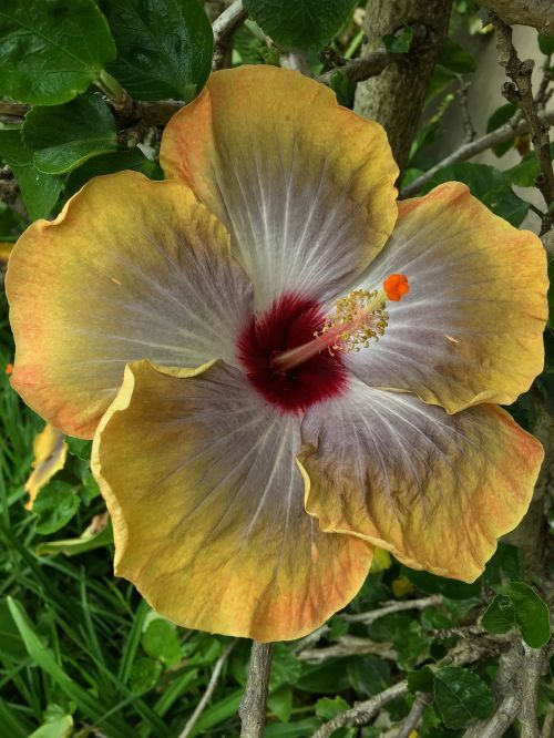 hibiscus yellow yellow flower flower